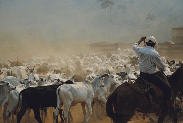 Élevage de bétail en Amazonie