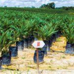 Plantons de palmiers à huile, Indonésie