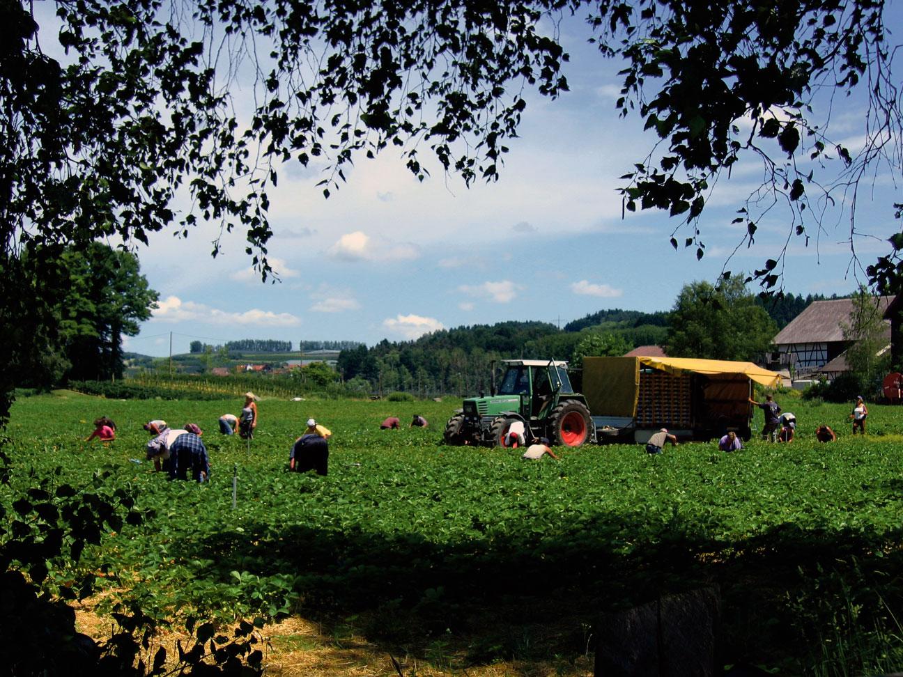 La récolte des fraises dans un champ en Allemagne