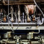 Traite industrielle des vaches