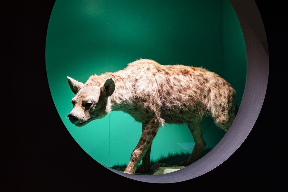 """Une hyène empaillée dans l'exposition """"Queer, la diversité est dans notre nature"""""""